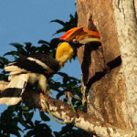 Hornbill on Koh Chang
